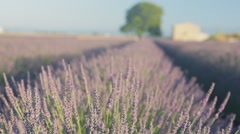 Endless Rows Of Beautiful Lavender Field Stock Footage
