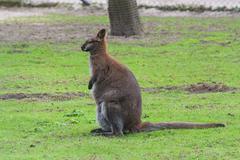 Kangaroo in its natural habitat Stock Photos