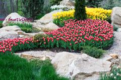 Beautiful two colored, red and white tulips flowerbed Stock Photos