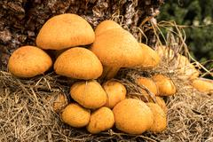 Yellow Tree Fungus Stock Photos