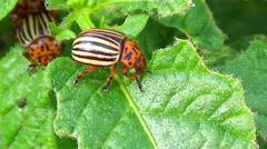 Colorado potato beetle on green leafs Stock Footage