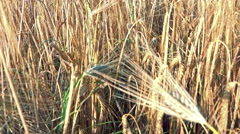 POV Walking in Wheat, Running in Harvest Field, Agriculture, Farming, Cereals Stock Footage