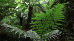 SLOW MOTION: Prehistoric lush fern growing in huge old overgrown rainforest Stock Footage