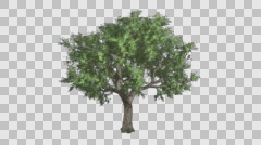 Amur Cork Tree Growth Animation with Alpha Channel - stock footage