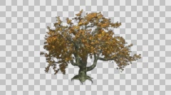 Big Leaf Maple Yellow Red Green Tree Growth Animation with Alpha Channel - stock footage