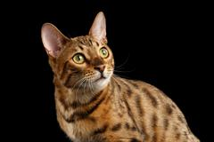 Closeup Curious Face Bengal Cat Looking up, Isolated Black Background - stock photo