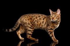Adorable Gold Bengal female Cat, Walking on Isolated Black Background Stock Photos