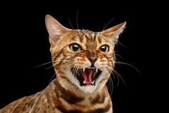 Closeup Portrait Hisses Bengal Cat Face on Isolated Black Background Stock Photos