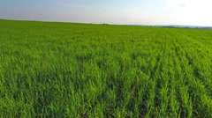 Flying fast over green field at sunset, 4k Stock Footage