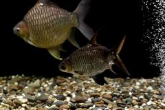 carp fish in the aquarium - stock photo