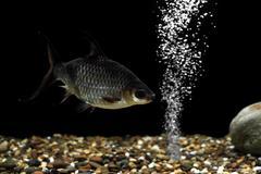 Carp fish in the aquarium Stock Photos