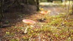 Fly amanita fungi growing in tarkine rainforest  in tasmania Stock Footage