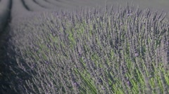 Lavander and honey, pollination Stock Footage