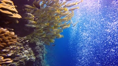 A colorful flock of snappers fish in the reef Elphinstone. Stock Footage