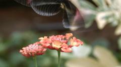 Postman longwing butterfly (Heliconius melopemene)  Stock Footage