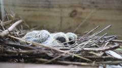 Baby Birds Sleep in their Nest, Extreme Closeup Stock Footage