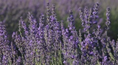 Lavander and honey, pollination - stock footage