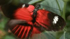 Courtship of Postman Longwing Butterflies (Heliconius melpomene). Stock Footage