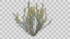 Broom Snake Weed Spring Plant Growth Animation - stock footage