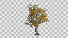 Katsura Tree Growth Animation Stock Footage