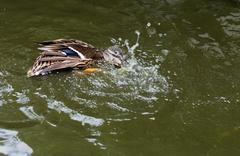 Mallard duck splashing in a pond. Stock Photos