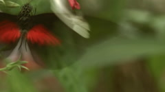 Postman longwing butterfly (Heliconius melopemene) drinking nectar Stock Footage