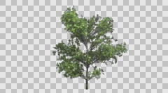Maple Shrub Tree Growth Animation Stock Footage