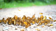 Colorful Monarch butterflies in slow motion HD, wildlife habitat on soil ground Stock Footage
