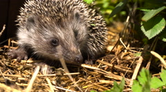 Young Hedgehog in the Bush Garden Roses Stock Footage