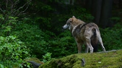 Gray wolf / grey wolf (Canis lupus) looking around from rock in forest - stock footage