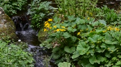Marsh-marigold / kingcup (Caltha palustris) in flower along brook in forest Stock Footage