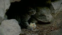 Wild cat kitten eating killed bird chick in front of burrow Stock Footage