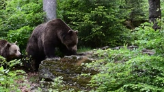 Male and female brown bear climbing on rock in forest Stock Footage
