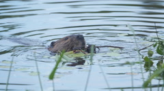 Beaver in the water eating leaves. Haliburton, Ontario, Canada. Stock Footage