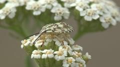 Pentatomidae beetle, Carpocoris mediterraneus, shield bug in flower, macro, 4K Stock Footage