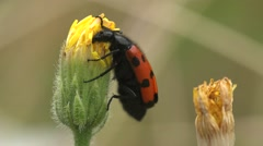 Insect, Mylabris quadripunctata, red beetle sitting on yellow flower, macro Stock Footage