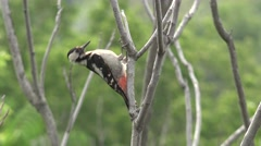 Bird Dendrocoptes, woodpecker perched on tree branch and looking for pests, 4K Stock Footage