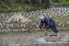 Chinese peasant works the soil in rice fields using mattock. Stock Photos