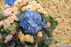 Beautiful blue Hydrangea macrophylla in bouquet of bride Stock Photos