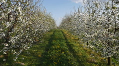 Apple orchards in bloom in Poland Stock Footage