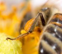 pollen honey bee on the paw. super macro - stock photo