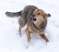 Dog barking outdoors in winter Kuvituskuvat
