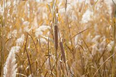 Yellow reeds in nature in autumn - stock photo