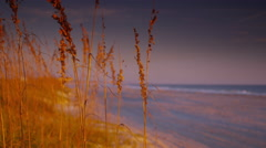 Sea Oats in the Early Morning- Close Up Stock Footage