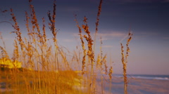 Sea Oats in the Early Morning- Close Up Pan Stock Footage