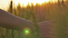 Closeup shot of gold wheat at girl's hands Stock Footage