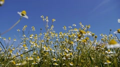 Chamomile field and blue sky Stock Footage