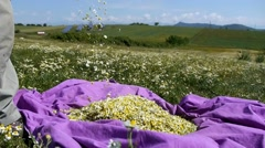 Farmer woman during chamomile harvesting from field  Stock Footage