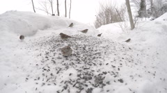 Many Finch birds eating seeds from the snow in winter. Stock Footage