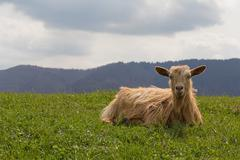 Red sheep lies on a green meadow. Animals Stock Photos